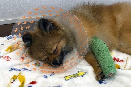 ポメラニアンの足が骨折した時の治療費は?【手術なし・2ヶ月の自宅療養でかかった費用】